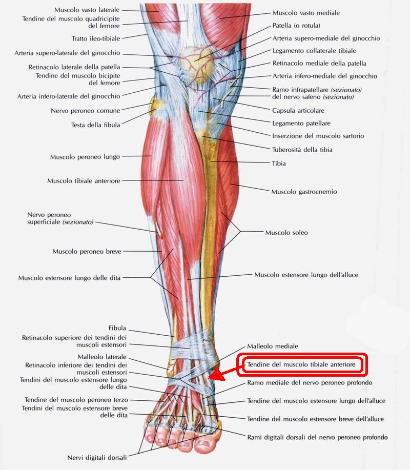muscoli_della_gamba_visti_anteriormente (1)